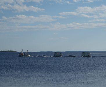junko vildlax fiskas i Bottenviken