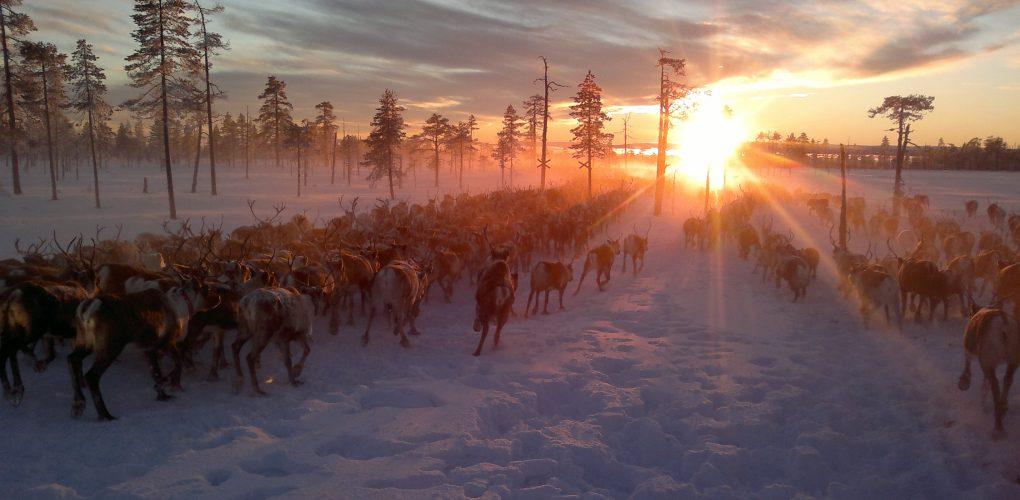 Östersunds kommun och Krokoms kommun serverar renskav från Jillie Ren & Vilt